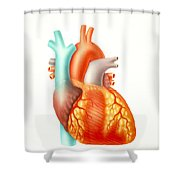Illustration Of The Human Heart Shower Curtain