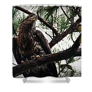 Immature American Bald Eagle Shower Curtain