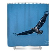 Immature Bald Eagle In Flight Shower Curtain