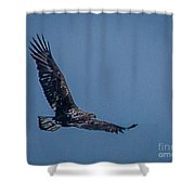 Immature Bald Eagle Shower Curtain