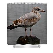 Immature Glaucous Gull Shower Curtain
