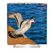 Immature Herring Gull At The Harbour Shower Curtain