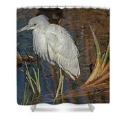 Immature Little Blue Heron Shower Curtain