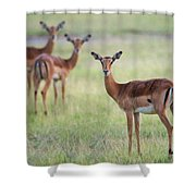 Impalas Aepyceros Melampus Petersi Shower Curtain