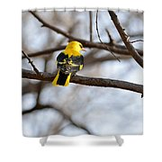Indian Golden Oriole Shower Curtain