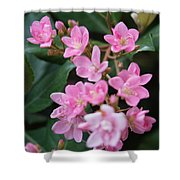 Indian Hawthorn Blossoms Shower Curtain