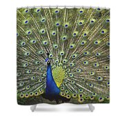 Indian Peafowl Male Displaying Shower Curtain