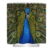 Indian Peafowl Male In Full Display Shower Curtain