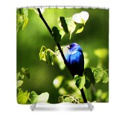 Indigo Bunting - Img_459-002 Shower Curtain
