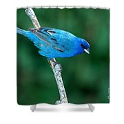 Indigo Bunting Passerina Cyanea Shower Curtain