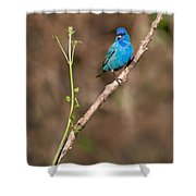 Indigo Bunting Portrait Shower Curtain