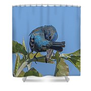 Indigo Bunting Preening Dsb229 Shower Curtain