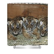 Indochinese Tiger Cubs In Sleeping Box Shower Curtain