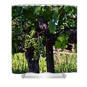 Inglenook Vineyard -11 Shower Curtain