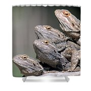Inland Bearded Dragons Shower Curtain