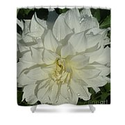 Innocent White Dahlia  Shower Curtain