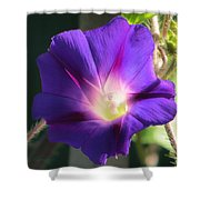 Ipomoea Nil Shower Curtain