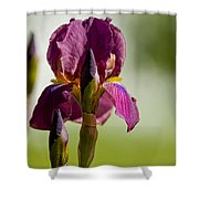 Iris Pictures 117 Shower Curtain