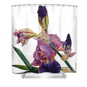 Watercolor Of A Tall Bearded Iris In A Color Rhapsody Shower Curtain