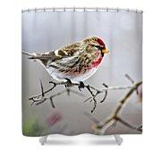 Irruptive Bird Common Redpoll Shower Curtain