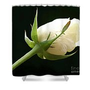Ivory Rose Bud Shower Curtain