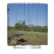 Jacare Caiman In Marshland Pantanal Shower Curtain