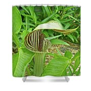 Jack In The Pulpit - Arisaema Triphyllum Shower Curtain