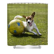 Jack Russell Terrier Plays With Ball Shower Curtain by Johan De Meester