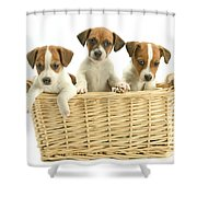 Jack Russell Terrier Puppies Shower Curtain