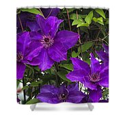 Jackmanii Purple Clematis Vine Shower Curtain