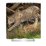 Jaguar Panthera Onca Foraging Shower Curtain