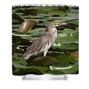 Javan Pond Heron Dthn0071 Shower Curtain