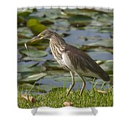 Javan Pond Heron With A Fish Dthn0069 Shower Curtain