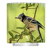 Jay In Nature Shower Curtain