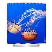 Jelly Dance - Large Jellyfish Atlantic Sea Nettle Chrysaora Quinquecirrha. Shower Curtain