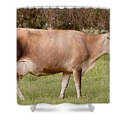 Jersey Cow In Pasture Shower Curtain
