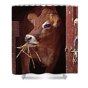 Jersey Cow Shower Curtain