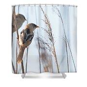 jn01 Bearded Reedling Juvenile Shower Curtain