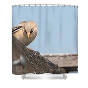 jn18 Bearded Reedling Juvenile Shower Curtain