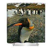 Juvenile King Penguin Shower Curtain