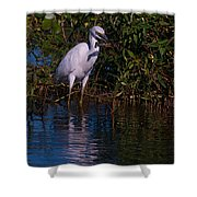 Juvenile Little Blue With Lobster 1 Shower Curtain
