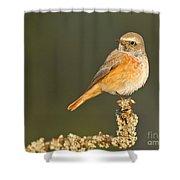 Juvenile Redstart Phoenicurus Phoenicurus Shower Curtain