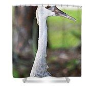 Juvenile Sandhill Crane Grus Canadensis Pratensis I Usa Shower Curtain