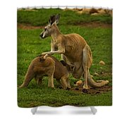 Kangaroo Nursing Its Joey Shower Curtain