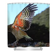 Kea Showing Brilliant Coloration  New Shower Curtain