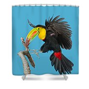 Keel-billed Toucan About To Land Shower Curtain