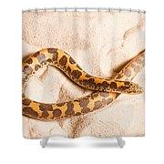 Kenyan Sand Boa Eryx Colubrinus Shower Curtain