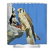 Kestrel At Nest Shower Curtain