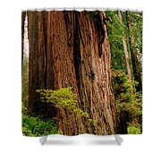 Kevin And The Big Tree - Redwood National Forest Shower Curtain