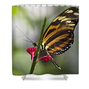 Key West Butterfly Conservatory - Papilio Zagreus Shower Curtain